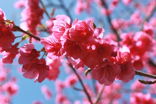 第27回 緋寒桜